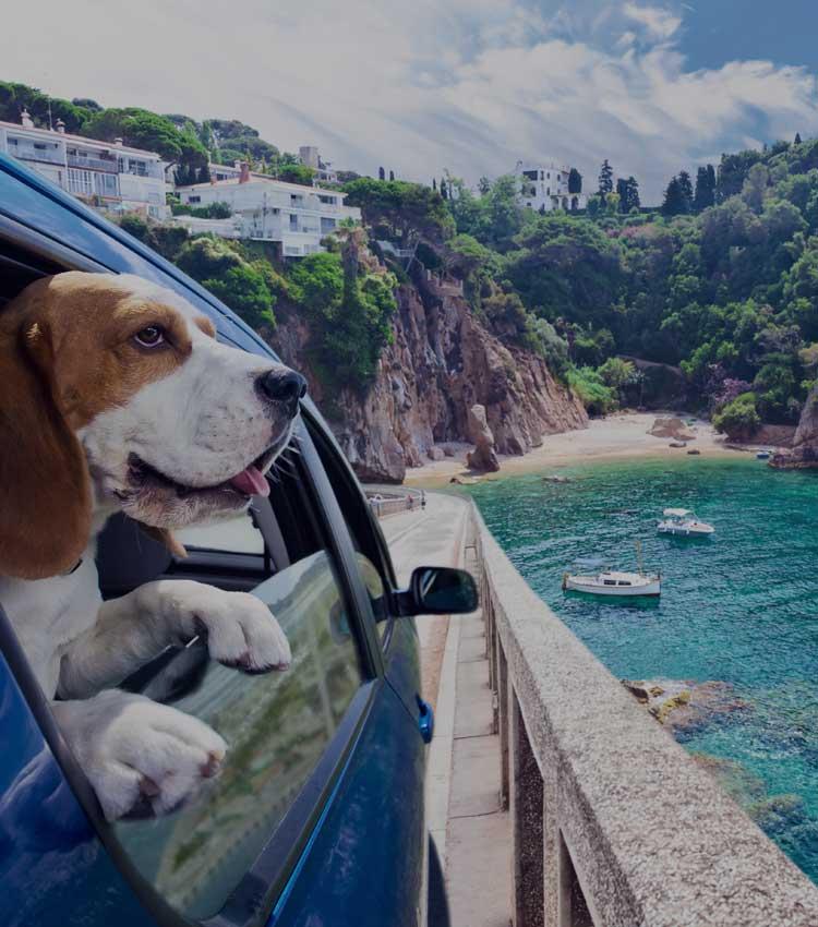 Dog enjoying car ride