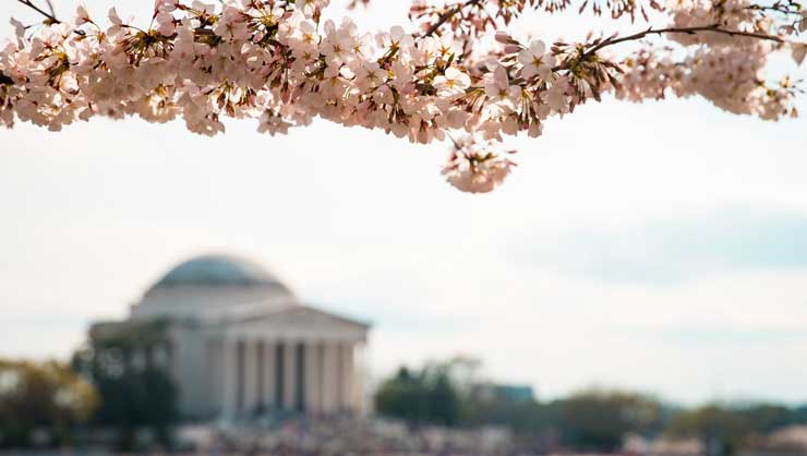 Nothing says springtime like cherry blossoms.