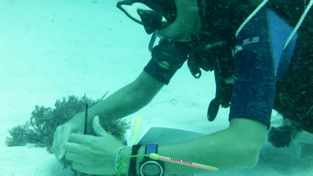 Alba takes conch measurements in the Caribbean!