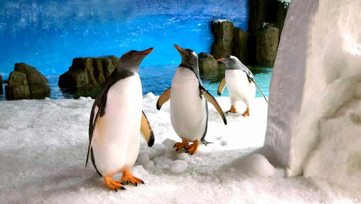 You'll see King and Gentoo penguins at the Melbourne Aquarium.