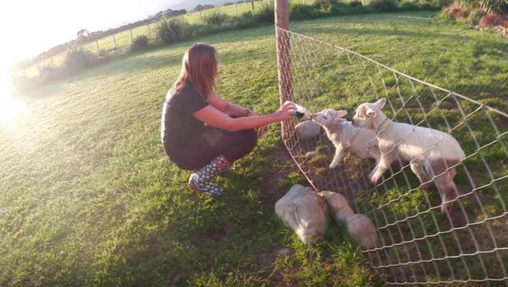 Feeding lambs in New Zealand