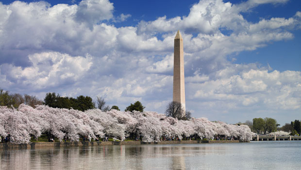 Cherry Blossoms along the Tidal Basin in Washington, DC
