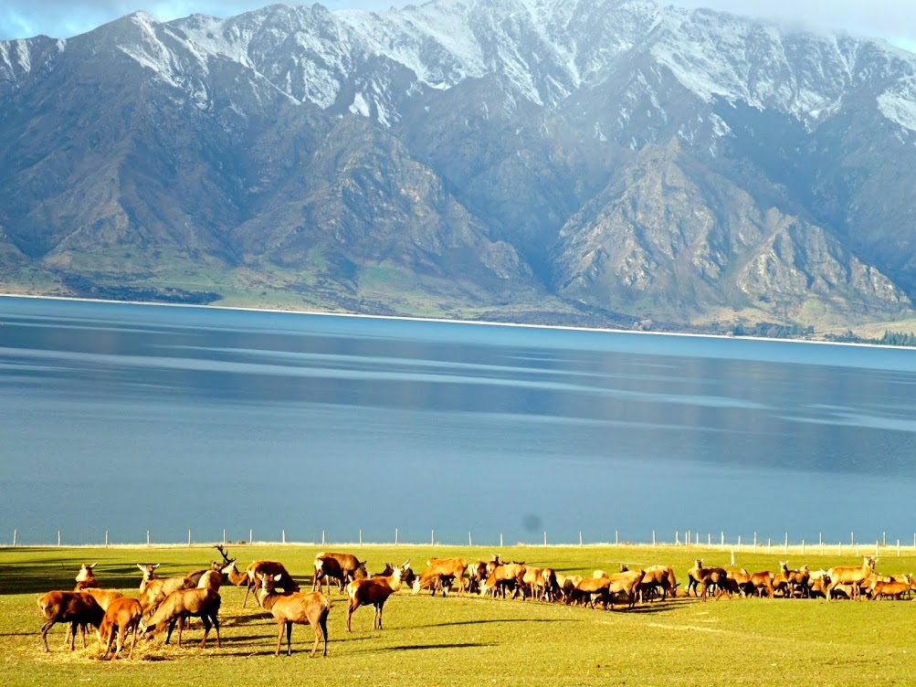 grazing elk in New Zealand