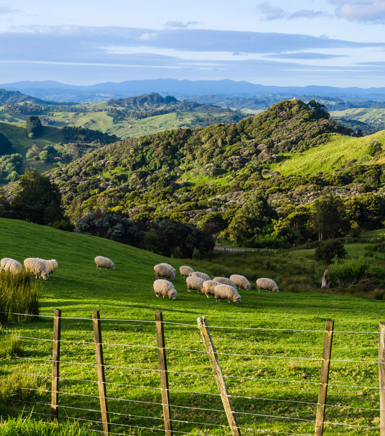 New Zealand's Rolling Hills and Sheep